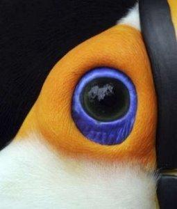 toucan eye
