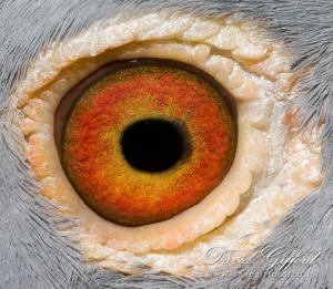 pigeon eye# 2