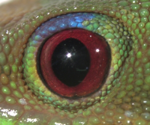 phelsuma lat eye