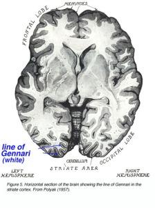 fig5 visualcortex