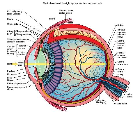 diagram of human eye ball wire data schema u2022 rh frana co