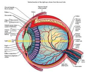 Human eye anatomy diagram the eye sight human eye anatomy diagram ccuart Gallery