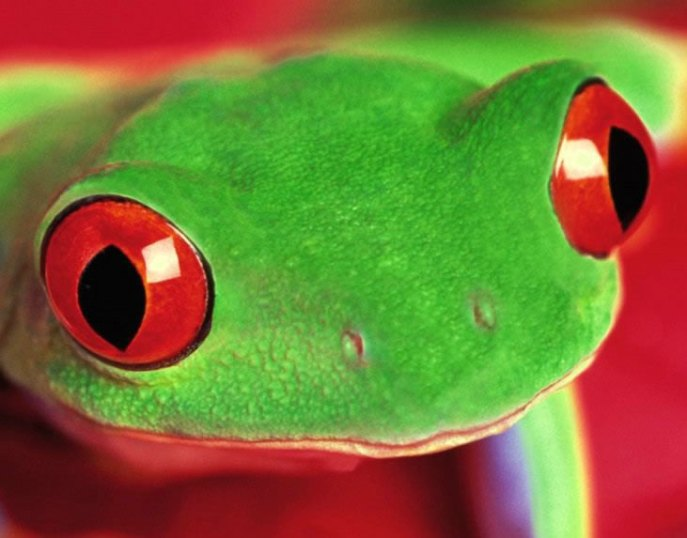 eyes of the red eyed tree frog