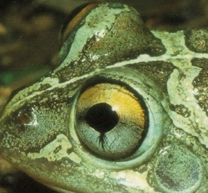long footed frog eye