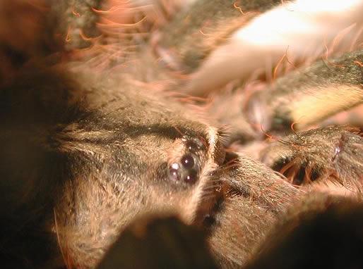 tarantula eyes