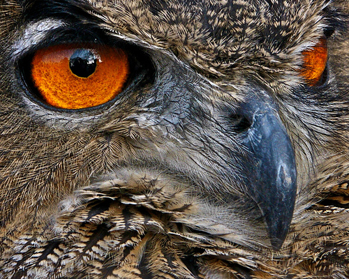 Owl's orange eyes