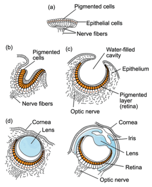 Stages in the evolution of the human eye