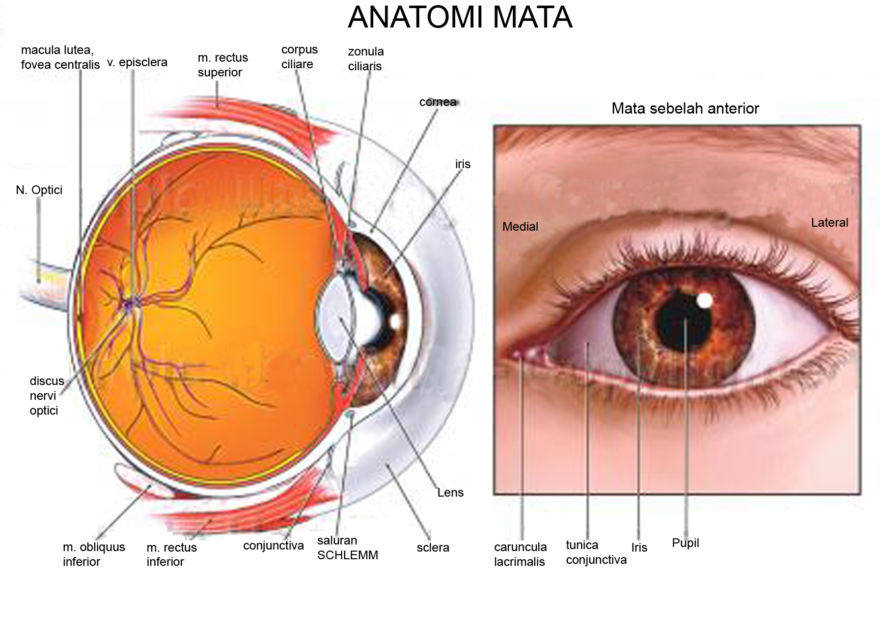 Anatomi mata the eye sight human eye anatomy 4 ccuart Choice Image