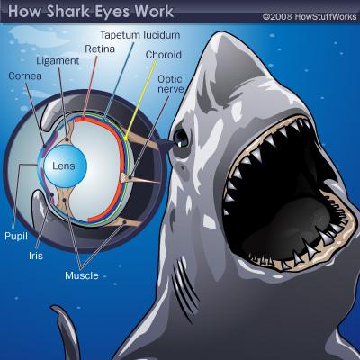 Shark Eye Anatomy Diagram The Eye Si Gh T