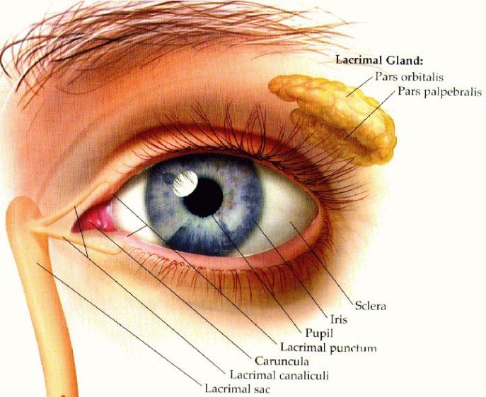 Lacrimal Gland diagram