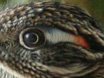 Roadrunner Eye